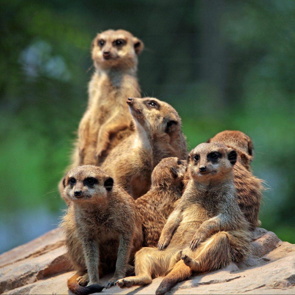 meerkat-658504_1920